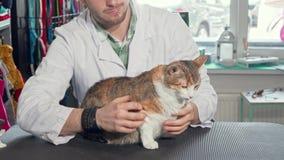 Förtjusande katt som sitter på undersökningstabellen på det veterinär- kontoret stock video