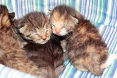 Förtjusande kattungar sex gamla dagar Royaltyfri Foto