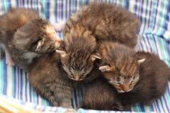 Förtjusande kattungar sex gamla dagar Arkivfoto