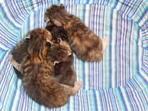 Förtjusande kattungar sex gamla dagar Fotografering för Bildbyråer