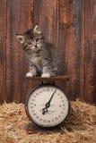 Förtjusande kattunge på antik tappningskala Royaltyfria Foton