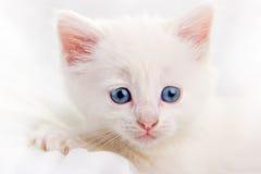 förtjusande kattungewhite Royaltyfri Foto