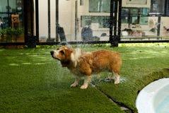 Förtjusande knäpp för welsh corgihund håret på det konstgjorda gräset, når att ha simmat på helg royaltyfria bilder