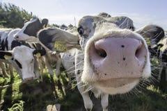Förtjusande kor som ser med intresse in i kamera royaltyfri bild