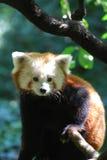 Förtjusande Lesser Panda Bear Royaltyfri Fotografi