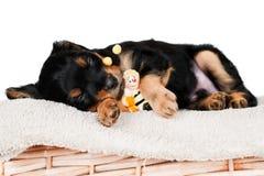 Förtjusande lite valp som sovar med en toy royaltyfria bilder