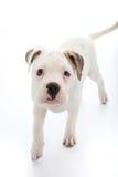 Förtjusande liten hund med ledsna droopy ögon royaltyfria foton