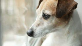 Förtjusande liten hundJack Russell terrier som ser till fönstret close upp Dagsljus Videomaterial arkivfilmer