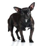 Förtjusande liten svart hund royaltyfri foto