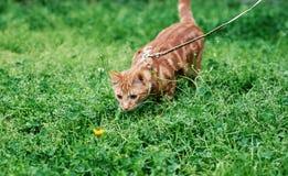Förtjusande ljust rödbrun röd strimmig kattkatt på en koppel ut för den very tiden och som fascinerar av en maskros arkivfoton