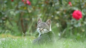 Förtjusande och skämtsamma lilla Cat Playing i gräset i trädgårdträdgård arkivfilmer