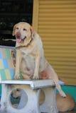 Förtjusande och tam hundkapplöpning Arkivbild
