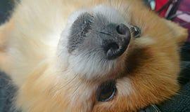 Förtjusande Pomeranian Royaltyfria Foton