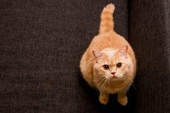 Förtjusande röd katt Fotografering för Bildbyråer