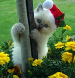 Förtjusande Ragdoll kattunge som är klar för jul royaltyfria bilder