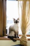 Förtjusande siamese kattunge Arkivbild