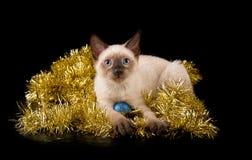 Förtjusande Siamese kattunge i guld- glitter arkivbild
