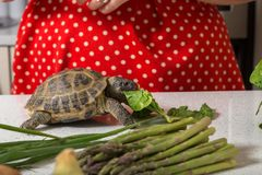 Förtjusande sköldpadda som äter roman sallad Arkivbild