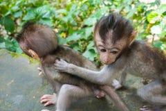 Förtjusande små behandla som ett barn macaqueapor på den sakrala apan Forest Ubud, Bali, Indonesien arkivbild