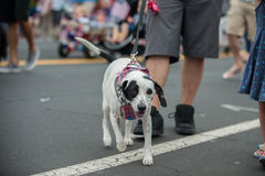 Förtjusande ståta hunden i dräkt på Juli 4th Arkivbild