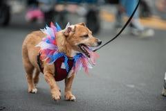 Förtjusande ståta hunden i dräkt på Juli 4th Arkivfoto