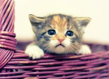 Förtjusande Tre-färgade Kitten Looking Out av korgen Fotografering för Bildbyråer