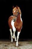 Förtjusande welsh skäckig ponny som lyfter hans ben Arkivbilder
