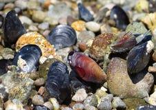 Förträffliga musslor Arkivbilder