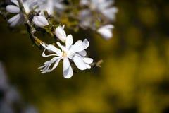 Förtrollande magnoliablomma royaltyfria bilder