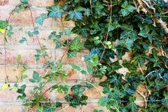 Förtrollande murgröna Royaltyfri Bild