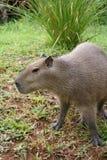 förväxlad capybara Fotografering för Bildbyråer