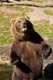 förvånad björnbrown Arkivbilder