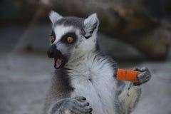 Förvånad cirkel-tailed maki med moroten Fotografering för Bildbyråer