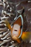 förvånad clownfish Arkivfoton