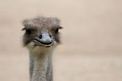 förvånad emu Royaltyfri Bild
