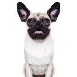 Förvånad galen hund Arkivbilder