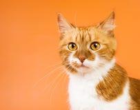 förvånad kattorange Royaltyfri Fotografi