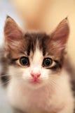 förvånad kattunge Arkivbild