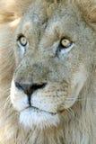 Förvånad lion fotografering för bildbyråer