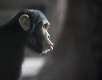 Förvånad schimpans Arkivbilder