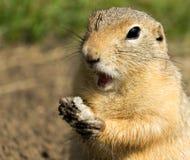 Förvånat mala-ekorre äta Arkivbild