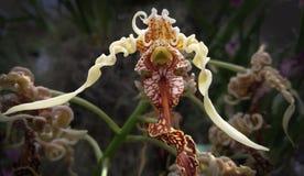Förvecklingarna av en dam Slipper Orchid arkivbilder