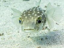 Förvirrad ett piggsvinfisk royaltyfri bild