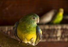 Förvirrad papegoja Arkivbild