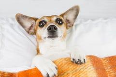 Förvirrad rolig hund under en filt Royaltyfria Foton