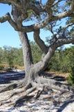Förvred vridna lemmar av en Live Oak Growing Barrier Island Arkivbilder