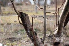 Föryngra att beskära av det gamla fruktträdet - plommon close upp royaltyfria foton