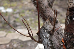 Föryngra att beskära av det gamla fruktträdet - plommon close upp arkivfoton
