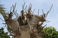 Föryngrad fikonträd med nytt ris royaltyfri fotografi