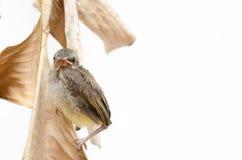 fött nytt för fågel Royaltyfri Bild